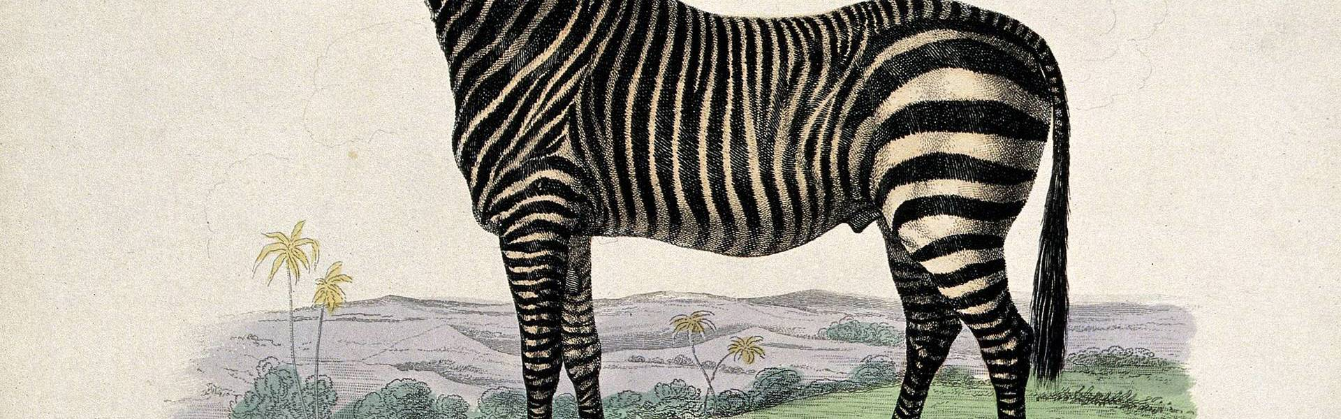 Zoological Society of London; a zebra. Coloured etching by J Wellcome